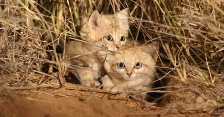 sand-cat.jpg.image.784.410.jpg